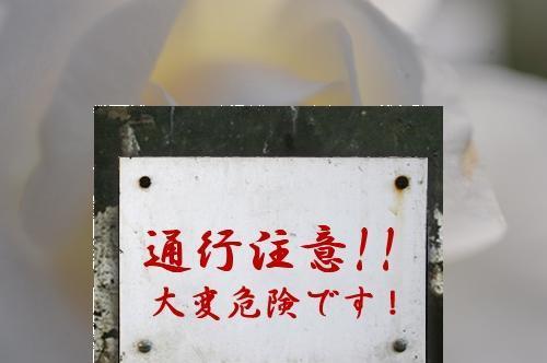 白バラ通行注意.jpg