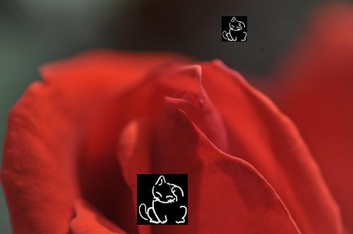 赤バラ.PNG