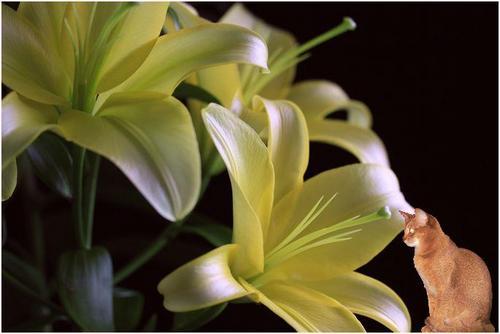 黄lily4.JPG
